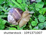 snail eating grass and clover... | Shutterstock . vector #1091371007