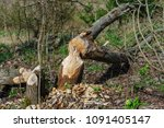 trees felled by beavers. sign... | Shutterstock . vector #1091405147