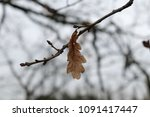 a single brown autumn leaf on a ... | Shutterstock . vector #1091417447