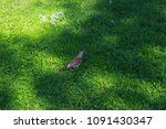 nightingale walks on the grass | Shutterstock . vector #1091430347