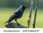 jackdaw  corvus monedula  on... | Shutterstock . vector #1091486237