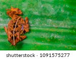 Small photo of Aerial view of brown Lesser Malacca Toad (Amphibia: Anura: Bufonidae: Ingerophrynus parvus) sitting on a green leaf isolated with soft background, during the night. Found near the stream inside forest