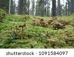 many funnel chanterelles ...   Shutterstock . vector #1091584097