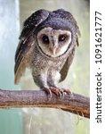 Small photo of PORT DOUGLAS, AUSTRALIA - CIRCA DECEMBER 2014: Andaman masked owl (Tyto deroepstorffi) at a wildlife park