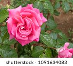 beautiful rose flower with... | Shutterstock . vector #1091634083