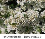 spiraea cinerea 'grefsheim' ... | Shutterstock . vector #1091698133