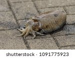 live cuttlefish on the ground...   Shutterstock . vector #1091775923