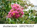 pink flower blooming and flower ... | Shutterstock . vector #1091791517