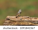 the common redstart  or often... | Shutterstock . vector #1091842367