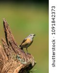 the common redstart  or often... | Shutterstock . vector #1091842373
