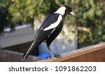 closeup of australian magpie... | Shutterstock . vector #1091862203