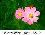 cosmos bipinnatus  cosmos...   Shutterstock . vector #1091872337