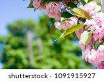 sakura flower with copy space.... | Shutterstock . vector #1091915927