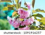 sakura flower. cherry blossoms. ... | Shutterstock . vector #1091916257