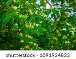 Wild Honeysuckle Bush With...