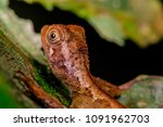 Small photo of Dark and light brown Dusky Earless Agamid Lizard (Chordata: Reptilia: Squamata: Aphaniotis fusca) stay still on the twig isolated with dark and black background, during the night inside the forest