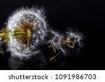 dandelion fluff on a black... | Shutterstock . vector #1091986703