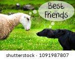 dog meets sheep  text best... | Shutterstock . vector #1091987807