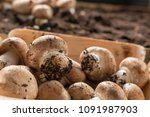 cultivation of brown... | Shutterstock . vector #1091987903