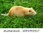 Small photo of yellow ondatra on the grass