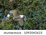 great white egret flying with... | Shutterstock . vector #1092042623