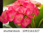 Small photo of Crown of thorns or Christ Thorn flower - Euphorbia milli - pink color on green leaf background