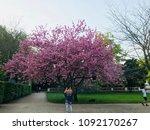 cherry blossom in germany   Shutterstock . vector #1092170267
