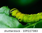 Caterpillars Eating The Leaves.