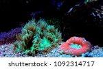 lps coral in saltwater reef... | Shutterstock . vector #1092314717