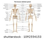 human skeleton in front and... | Shutterstock .eps vector #1092554153
