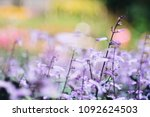 plectranthus mona lavender... | Shutterstock . vector #1092624503