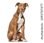 Small photo of American Pit Bull Terrier , 6 months old, sitting against white background