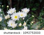 White Chrysanthemum Flower...