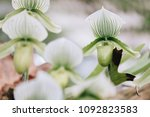 beautiful orchid flower in the... | Shutterstock . vector #1092823583