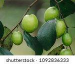 jujube fruits or monkey apple   ... | Shutterstock . vector #1092836333