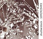 dandelion in droplets  macro | Shutterstock . vector #1092925493