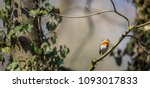 the european robin  erithacus...   Shutterstock . vector #1093017833
