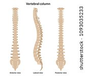human vertebral column in front ... | Shutterstock .eps vector #1093035233
