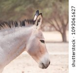 Small photo of A portrait of an African wild ass or African wild donkey (Equus africanus) in the 'Hay-Bar' Yotvata Nature Reserve for restoration of extinct animals