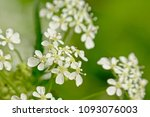 macro of tiny white cow parsley ... | Shutterstock . vector #1093076003