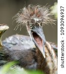 Small photo of Tricolored Heron Hatchling