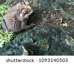 asian common toad  common toad... | Shutterstock . vector #1093140503
