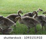 Canada Goose, Goslings, Canadian Geese in natural habitat. Flock of young yellow Goslings.