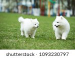 white samoyed puppy dog outdoor ...   Shutterstock . vector #1093230797