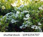 spiraea cinerea 'grefsheim' ... | Shutterstock . vector #1093254707