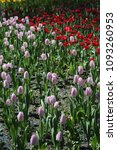 beautiful tulips in a flowerbed ... | Shutterstock . vector #1093260953