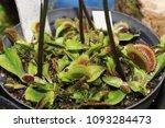 as carnivorous plants ...   Shutterstock . vector #1093284473