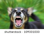 Stock photo barking enraged shepherd dog outdoors the dog looks aggressive dangerous and may be infected by 109331033