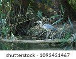 grey heron  ardea cinerea  at a ... | Shutterstock . vector #1093431467