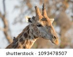 giraffe  giraffa camelopardalis ...   Shutterstock . vector #1093478507